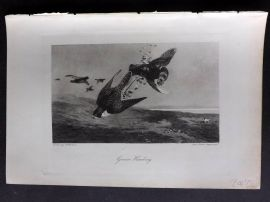 Aflalo 1898 Antique Print. Grouse Hawking